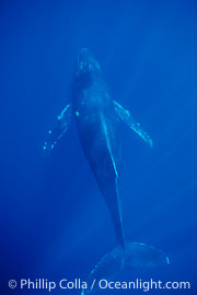 North Pacific humpback whale, singing, head down, Megaptera novaeangliae, Maui