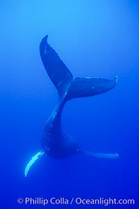 Adult male humpback whale singing, suspended motionless underwater.  Only male humpbacks have been observed singing.  All humpbacks in the North Pacific sing the same whale song each year, and the song changes slightly from one year to the next, Megaptera novaeangliae, Maui