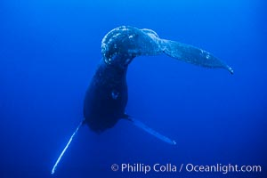 Humpback whale (male) singing, Megaptera novaeangliae, Maui