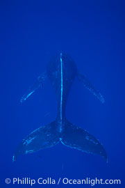 North Pacific humpback whale, singer hovering in head down posture, Megaptera novaeangliae, Maui