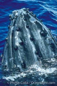 Humpback whale rostrum, dorsal aspect, showing tubercles, Megaptera novaeangliae, Maui