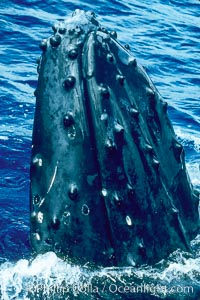Humpback whale rostrum, dorsal aspect, showing tubercles, Megaptera novaeangliae, Maui