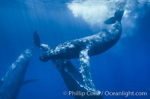 North Pacific humpback whales, socializing trio of adults, Megaptera novaeangliae, Maui