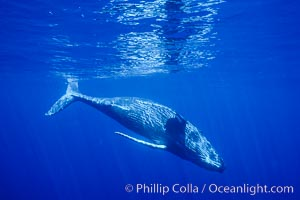North Pacific humpback whale, calf, Maui