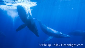 North Pacific humpback whale, competitive group, Megaptera novaeangliae, Maui