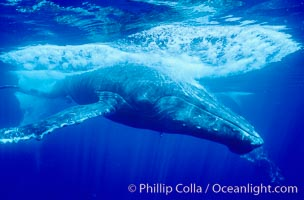 North Pacific humpback whale, escort in competitive group makes fast close pass, Megaptera novaeangliae, Maui