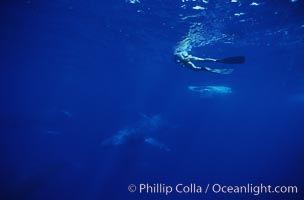 North Pacific humpback whale, active group, research diver, Megaptera novaeangliae, Maui