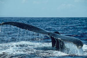 Humpback whale raising fluke (tail) out of the water before making a dive, Megaptera novaeangliae, Maui