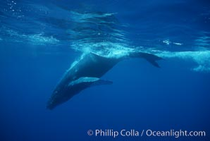 North Pacific humpback whale, calf. Maui, Hawaii, USA, Megaptera novaeangliae, natural history stock photograph, photo id 01310