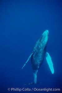 North Pacific humpback whale, calf, Megaptera novaeangliae, Maui