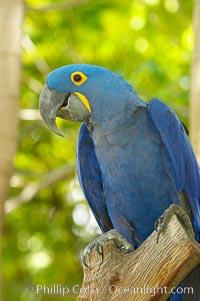 Hyacinth macaw, Anodorhynchus hyacinthinus