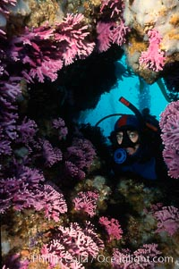 Diver and hydrocroal, Allopora californica, San Clemente Island