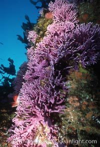 Hydrocoral, Farnsworth Bank, Stylaster californicus, Allopora californica, Catalina Island