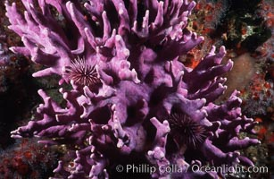 Hydrocoral detail, Stylaster californicus, Allopora californica, San Clemente Island