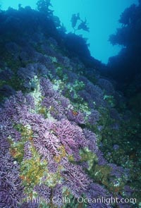 Hydrocoral, Farnsworth Banks, Stylaster californicus, Allopora californica, Catalina Island