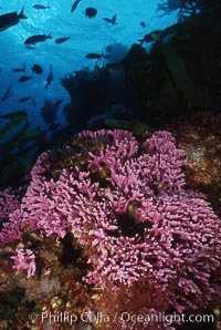 Hydrocoral on rocky reef, Stylaster californicus, Allopora californica, San Clemente Island