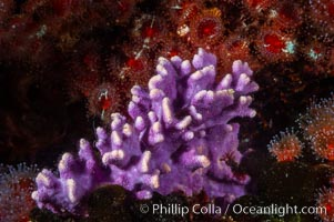 Purple hydrocoral, a small (6 inch) cluster, grows on a rocky reef in deep cold water, Stylaster californicus, Allopora californica, Santa Barbara Island