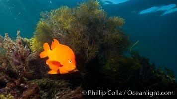 Garibaldi underwater, Hypsypops rubicundus, San Clemente Island