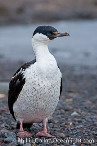 Imperial shag, or blue-eyed shag, Phalacrocorax atriceps, Leucocarbo atriceps, Livingston Island