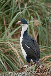 "Imperial shag or blue-eyed shag, in tussock grass.  The Imperial Shag is about 30"" long and 4-8 lbs, with males averaging larger than females.  It can dive as deep as 80' while foraging for small benthic fish, crustaceans, polychaetes, gastropods and octopuses, Phalacrocorax atriceps, Leucocarbo atriceps, New Island"