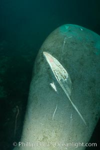 West Indian manatee with scarring/wound from boat propellor, Trichechus manatus, Homosassa River