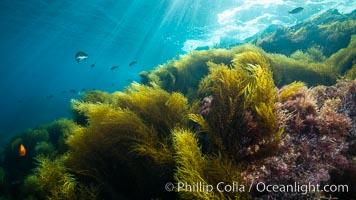 Invasive sargassum, Coronado Islands, Baja California, Mexico, Sargassum horneri