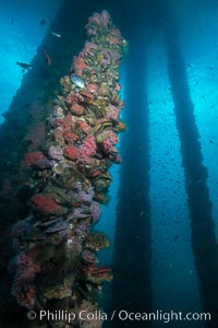 Oil Rig Ellen underwater structure covered in invertebrate life. Long Beach, California, USA, natural history stock photograph, photo id 31115