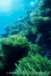 Palm kelp, Isla Afuera. Southern sea palm, Eisenia arborea, Guadalupe Island (Isla Guadalupe)