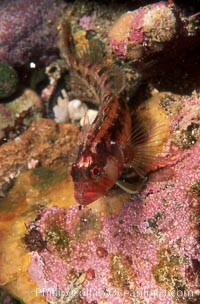 Island kelpfish, Alloclinus holderi, Coronado Islands (Islas Coronado)