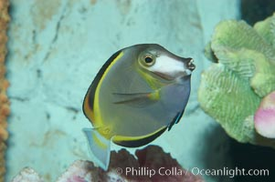 Japan surgeonfish, Acanthurus japonicus