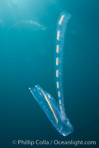 Pelagic tunicate reproduction, large single salp produces a chain of smaller salps as it reproduces while adrift on the open ocean, Cyclosalpa affinis, San Diego, California