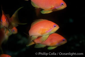 Jewel fairy basslet (female color form), also known as lyretail anthias, Pseudanthias squamipinnis, Egyptian Red Sea