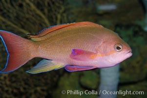 Sea goldie, Pseudanthias squamipinnis