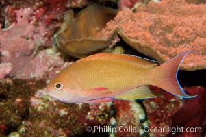 Lyretail fairy basslet, Pseudanthias squamipinnis