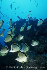 Barberfish, Johnrandallia nigrirostris, Socorro Island (Islas Revillagigedos)
