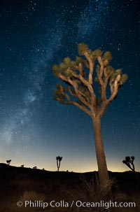 The Milky Way Galaxy shines in the night sky with a Joshua Tree silhouetted in the foreground, Joshua Tree National Park, California