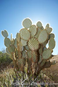 Unidentified cactus. Joshua Tree National Park, California, USA, natural history stock photograph, photo id 11924