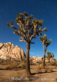 Joshua tree and stars, moonlit night. The Joshua Tree is a species of yucca common in the lower Colorado desert and upper Mojave desert ecosystems. Joshua Tree National Park, California, USA, Yucca brevifolia, natural history stock photograph, photo id 27714