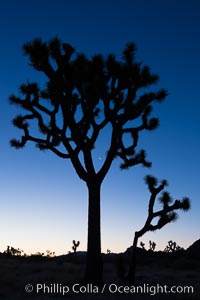 Joshua Trees and crescent moon silhouetted against predawn sunrise light, Joshua Tree National Park, California