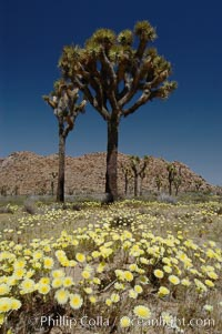 Joshua Trees rise above a patch of white tackstems. Spring, Yucca brevifolia, Calycoseris wrightii, Joshua Tree National Park, California