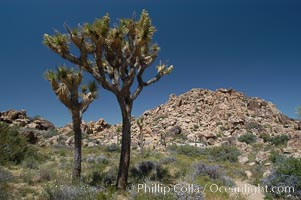 Joshua Trees, a tree form of yucca inhabiting the Mojave and Sonoran Deserts, Yucca brevifolia, Joshua Tree National Park, California