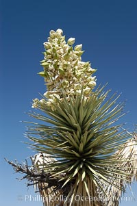 The flower cluster of a Joshua tree in late spring, showing developing fruit which will dry and fall off, Yucca brevifolia, Joshua Tree National Park, California