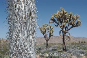 The trunk of this Joshua tree is covered by its still-attached dead leaves, which will eventually fall off to expose the wrinkly bark, Yucca brevifolia, Joshua Tree National Park, California
