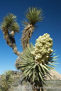 Fruit cluster blooms on a Joshua tree in spring. Joshua Tree National Park, California, USA