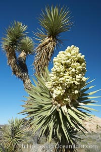 Fruit cluster blooms on a Joshua tree in spring, Yucca brevifolia, Joshua Tree National Park, California