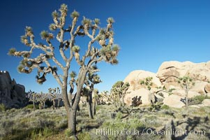 Joshua trees and strange rock formations characteristic of the Mojave desert region of Joshua Tree National Park. Joshua Tree National Park, California, USA, Yucca brevifolia, natural history stock photograph, photo id 11992