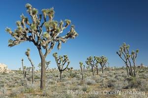 Joshua trees are found in the Mojave desert region of Joshua Tree National Park. Joshua Tree National Park, California, USA, Yucca brevifolia, natural history stock photograph, photo id 11993