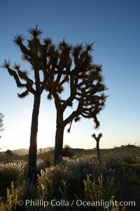 Joshua trees are found in the Mojave desert region of Joshua Tree National Park. Joshua Tree National Park, California, USA, Yucca brevifolia, natural history stock photograph, photo id 11996