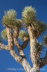 Variegated branching of the Joshua tree, a tree-form of yucca / agave, Yucca brevifolia, Joshua Tree National Park, California