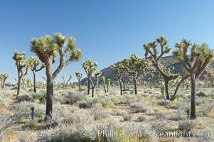 Joshua trees are found in the Mojave desert region of Joshua Tree National Park. Joshua Tree National Park, California, USA, Yucca brevifolia, natural history stock photograph, photo id 12001